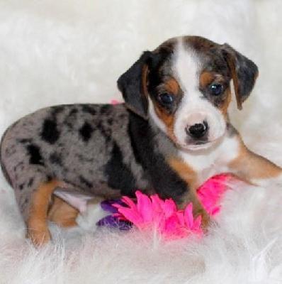 Queen Elizabeth Pocket Beagles Pocket beagle, Beagle