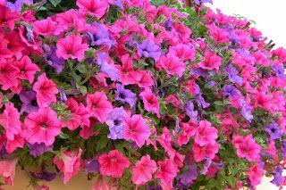Petunia Flowers Petunia Flowers Meanings Petunia Flowers Pictures Petunia Flowers Care Petunia Flowers Facts Petunia Flowers Have Become Very Popular In Garde