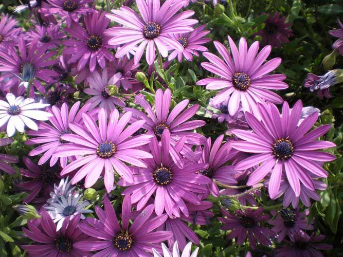 Dimorphoteca Entretien Marguerite Du Cap Avec Images Fleurs