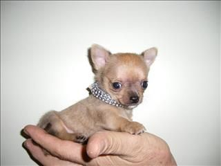 Micro Teacup Chihuahua Puppies Purebred Tiny