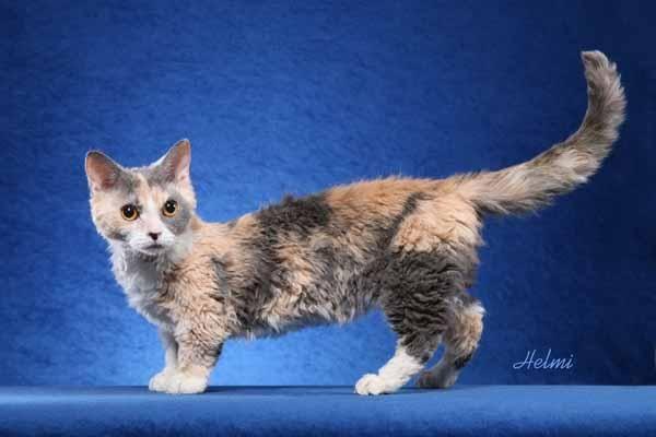 Lambkin Cat Picture Cat Breeds Munchkin Cat Rare Cats