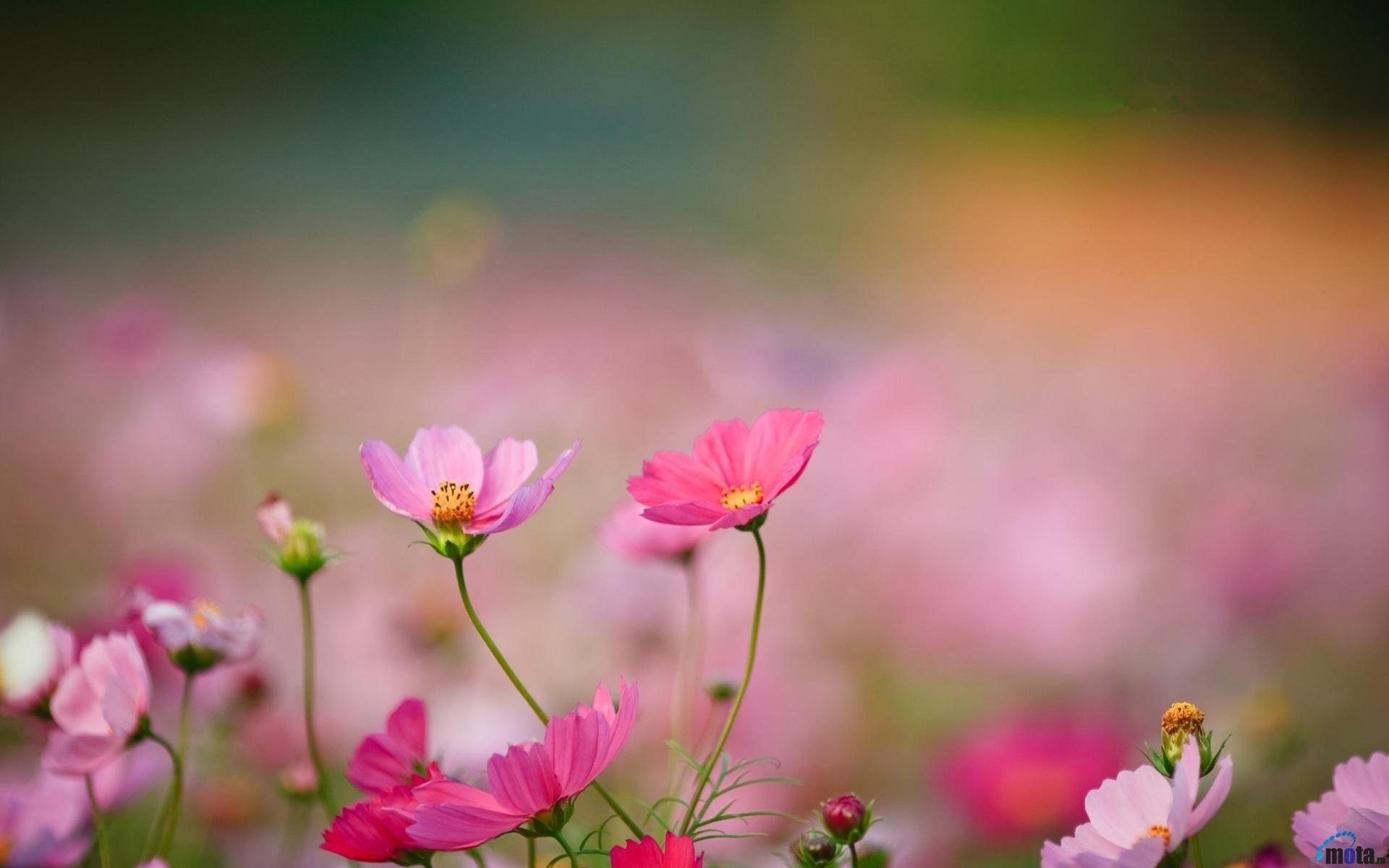 Http Img Mota Ru Upload Wallpapers 2011 02 22 23 00 24285 Mota Ru 1022301 1920x1200 Jpg Wild Flowers Cosmos Flowers Flower Wallpaper
