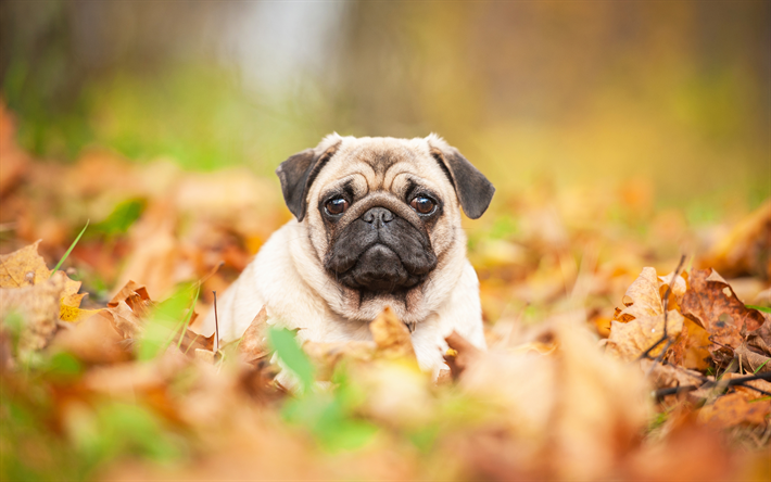 Download Wallpapers Pug Small Puppy Cute Animals Small Dog Autumn 4k Besthqwallpapers Com Small Puppies Small Dogs Pugs