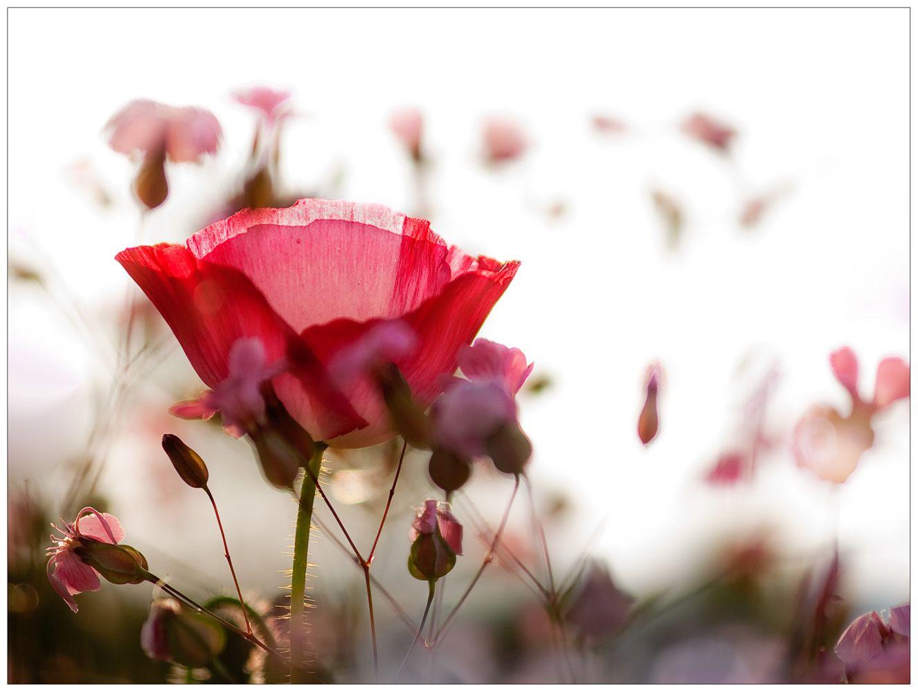 Wenn Bluten Fliegen Mohn Blumen Mohn Schopfung