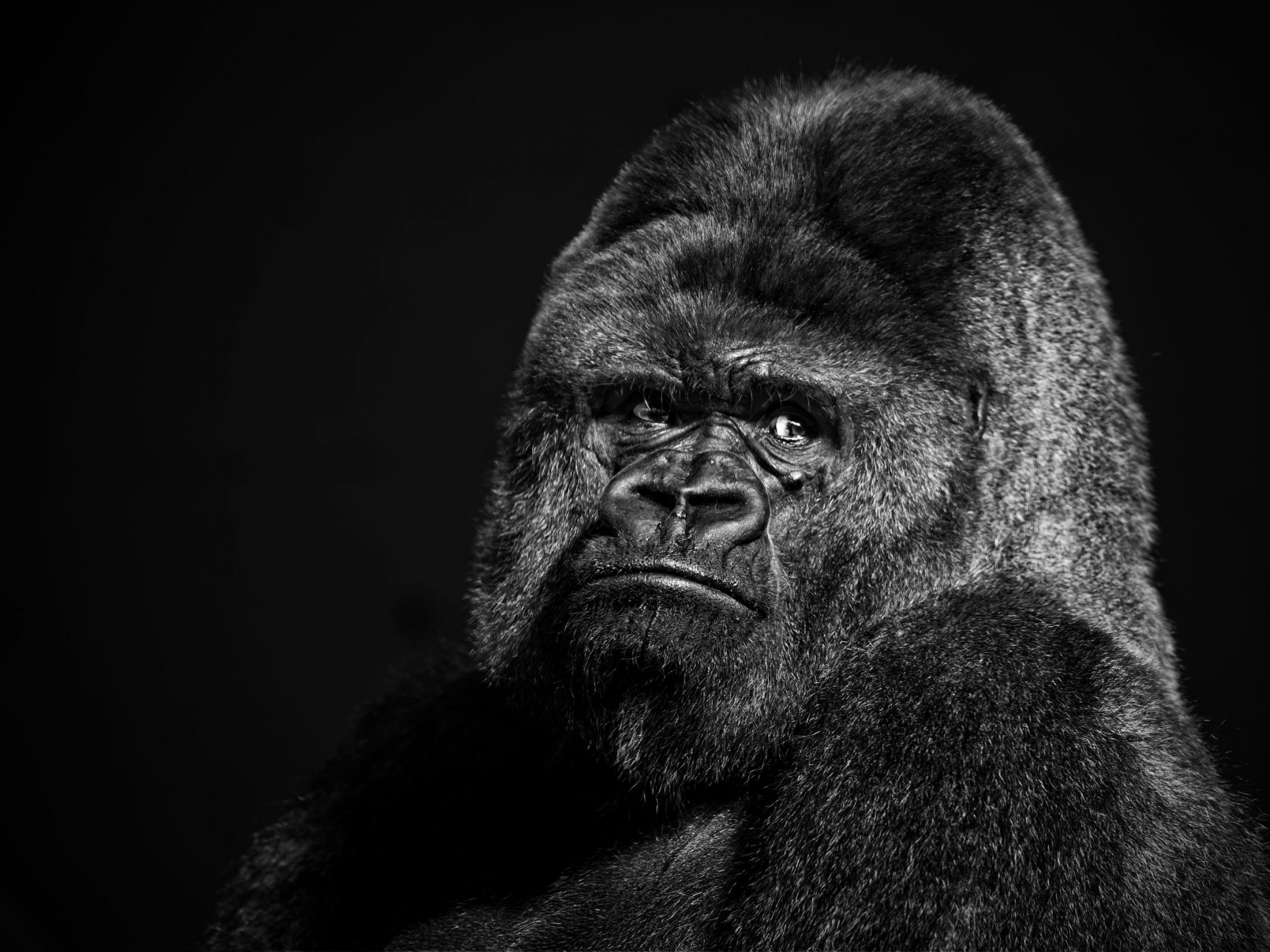Gorilla Collection See All Wallpapers Wallpapers Background Animals In 2020 Gorilla Gorilla Wallpaper Animal Wallpaper