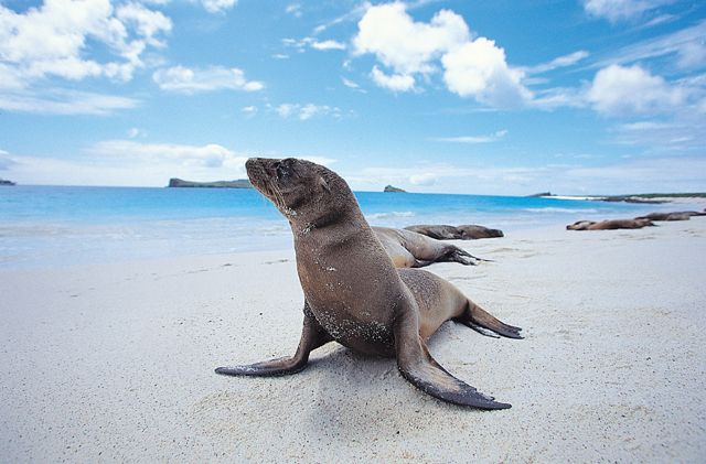 A sea lion striking a pose in the Galapagos Islands.