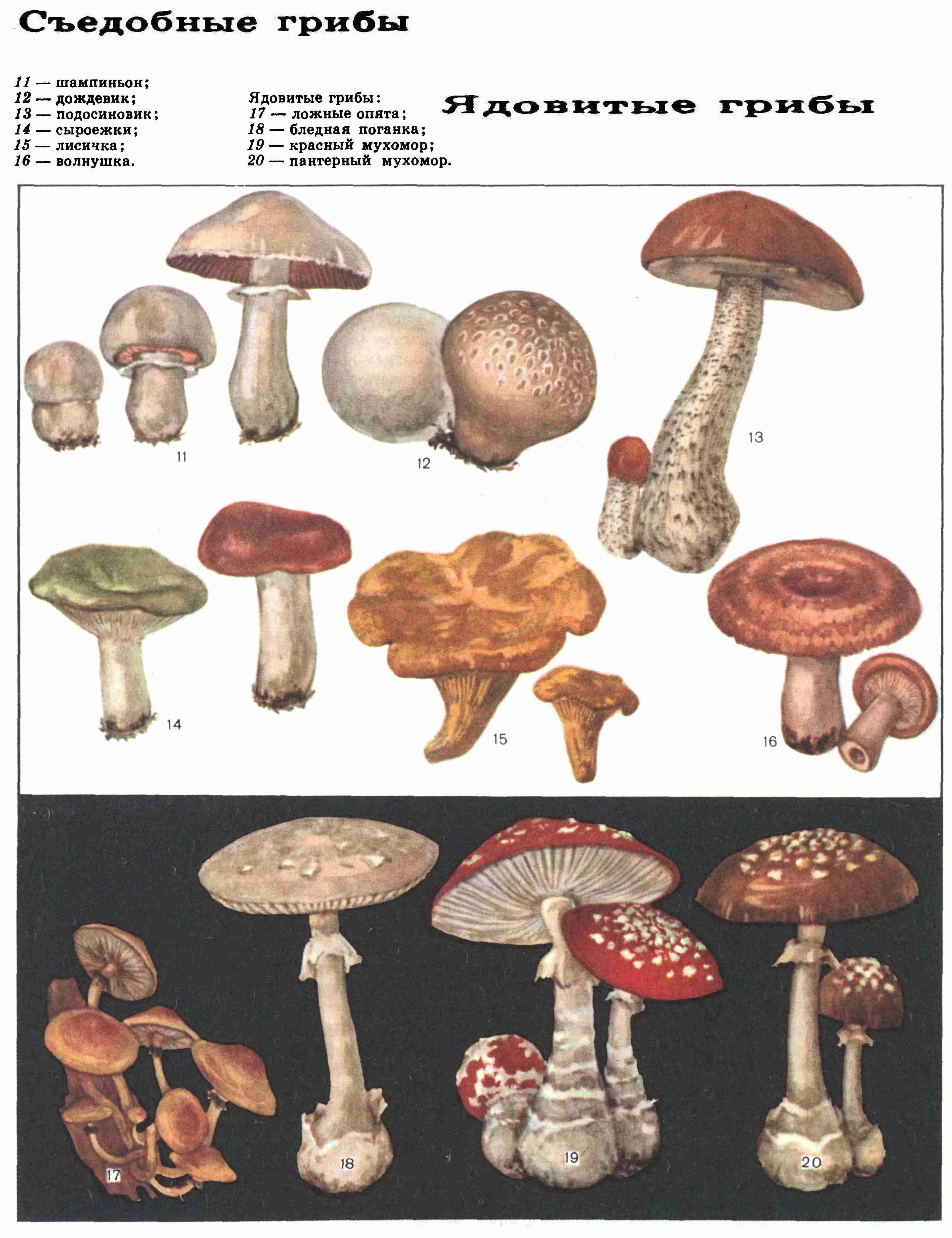 ядовитые грибы фото
