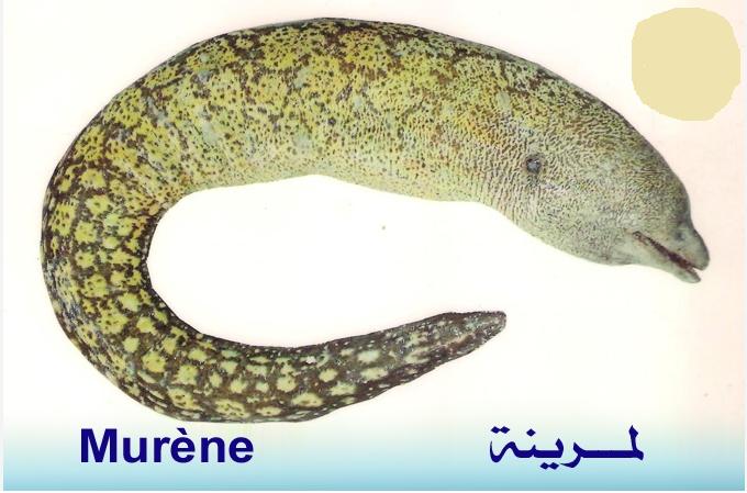 تعريف اسماء الاسماك بدلجة المغربية و الفرنسية البحار المغربي Fish Blog Posts Travel Pillow