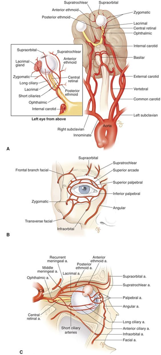 How Arteries Feed The Eyes The Good Doctor Pinterest Anatomy