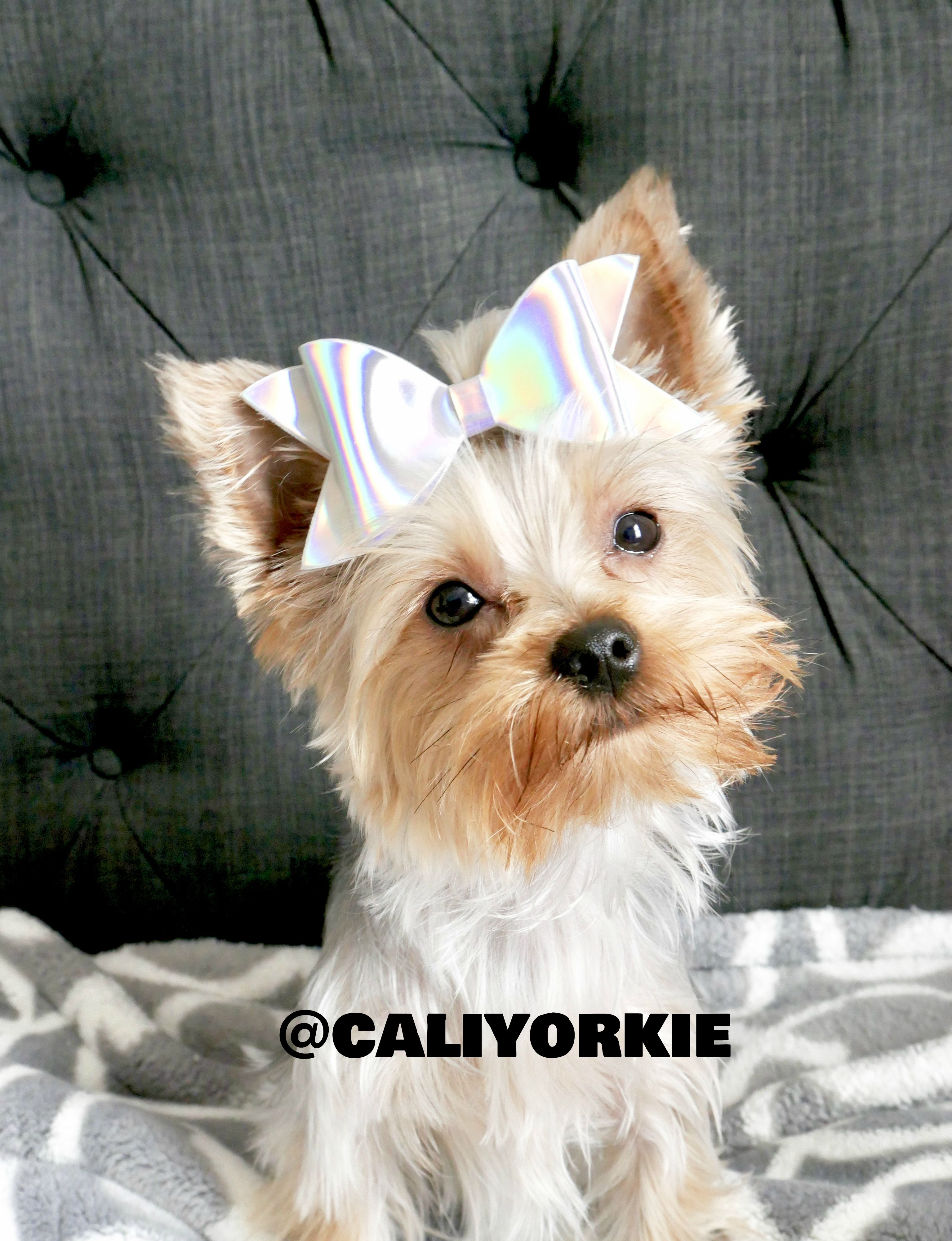 Holographic Dog Hair Bow Cute Yorkie Dog Account Puppy Cali