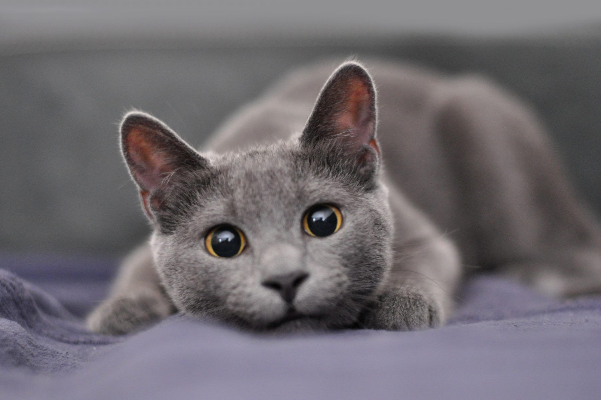 The 10 Most Affectionate Cat Breeds
