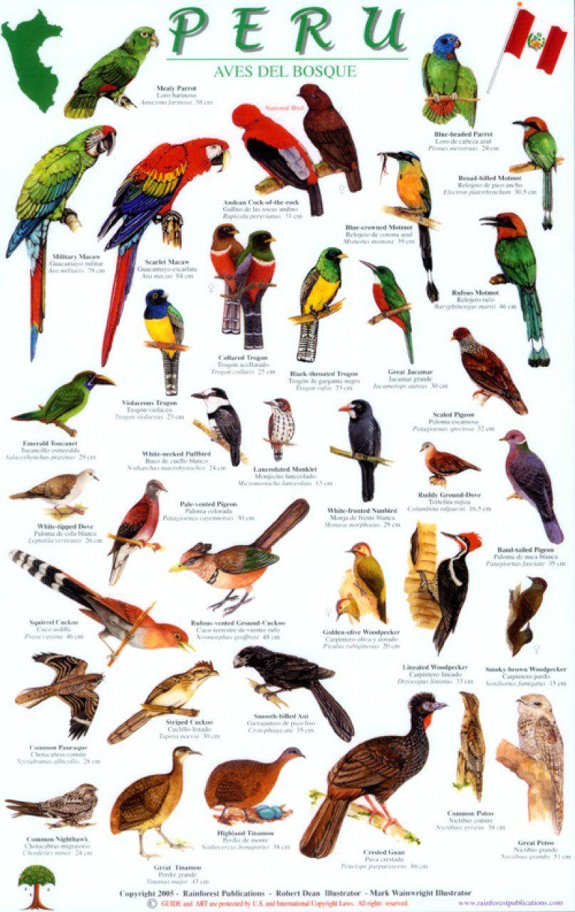 Forest Birds of Peru Birds, Bird guides, Bird pictures