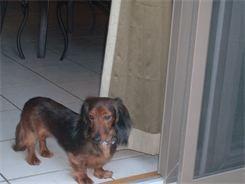 Dachshund Rescue Of St Louis Dachshund Rescue Dogs Dachshund