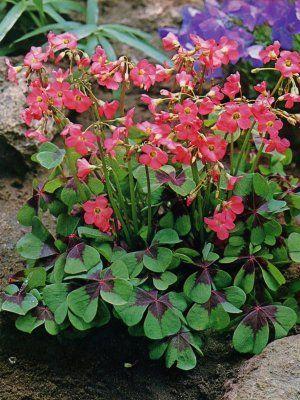 Oxalis deppei 'Iron Cross' Pink Shamrock   Shade plants