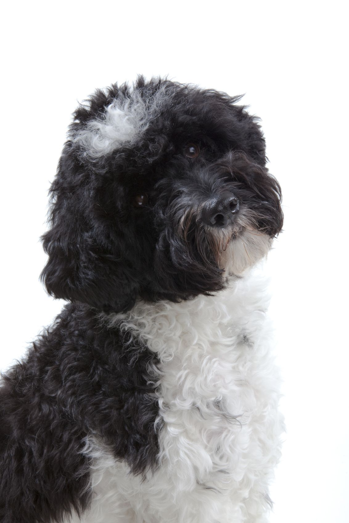Dogs That Don't Shed The Portuguese Water Dog is