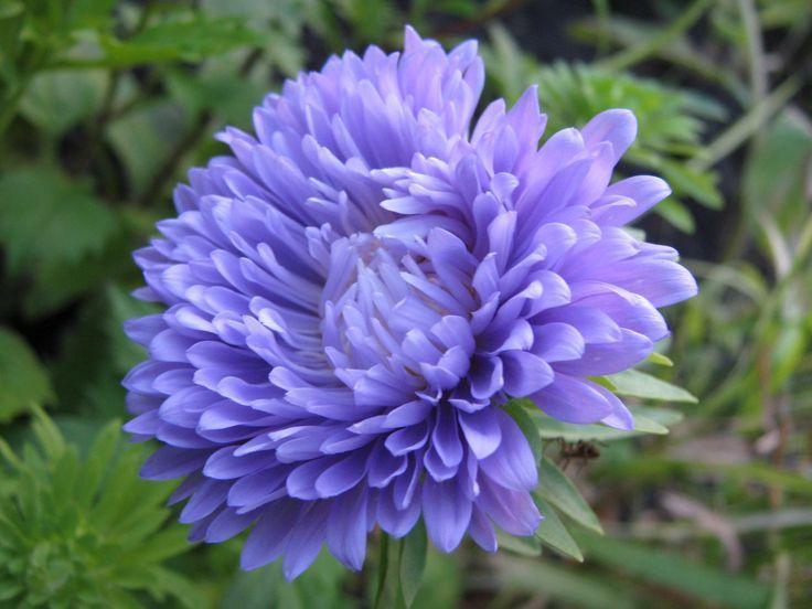 Pin By Yza Fujiko On Blue Flowers Aster Flower September Flowers Hd Flower Wallpaper