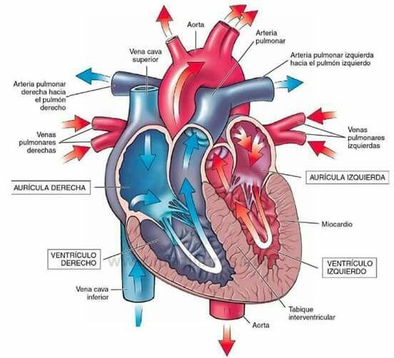 Corazón | Dibujo de anatomía | Pinterest | Anatomía, Enfermería y ...
