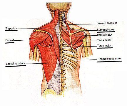 22++ Anatomy upper back shoulder muscles ideas in 2021