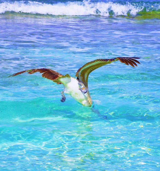 Ready to Hang Artwork | PixotoBrown Pelican has breakfast on 7 mile Beach ( look closely to see the catch)