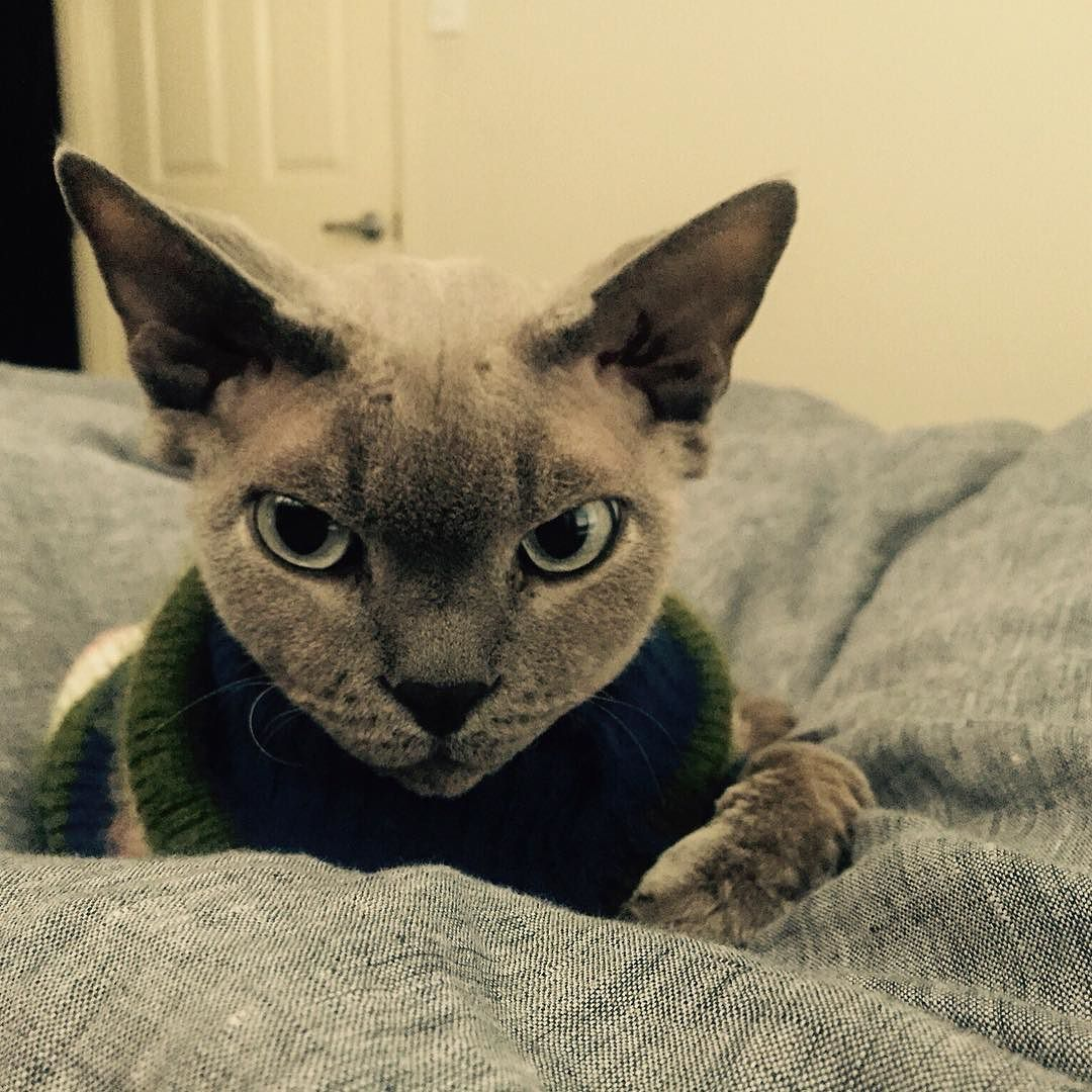 Is anyone else wondering when its going to cool down? Jack has his winter woolies out but hes a rudey nudey lol #coldcat #jackcat #devonrex #winteriscoming