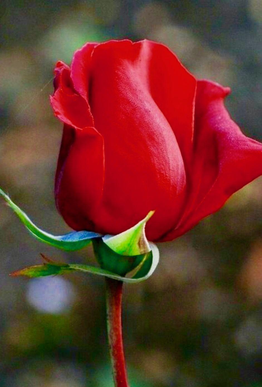 Beautiful Rose Beautiful Flowers Pinterest Rose Flowers And