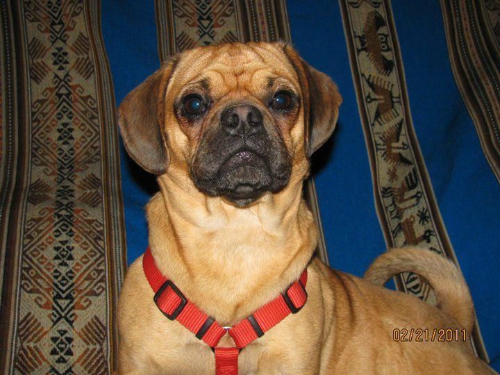 My Girl All Grown Up Puggle Puppies Puggle Puppies