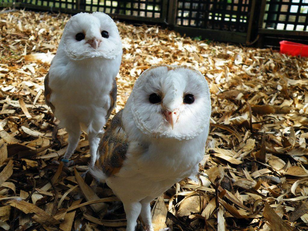 Cute baby white owl - photo#47