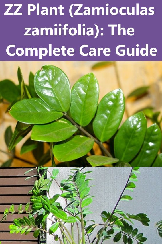 Learn how to grow and care for ZZ plant (Zamioculas zamiifolia) which is perfect for growing indoors. #Houseplants #IndoorPlants #ZZPlant #ZamioculasZamiifolia #ZiziPlant #ZuzuPlant #ZanzibarGemPlant #SteelPlant #AroidPalm #EmeraldPalm #EternityPlant #CareGuide #GrowingZZPlant #ZZPlantCare #CaringForZZPlant #HowToGrowZZPlant #LowMaintenancePlants