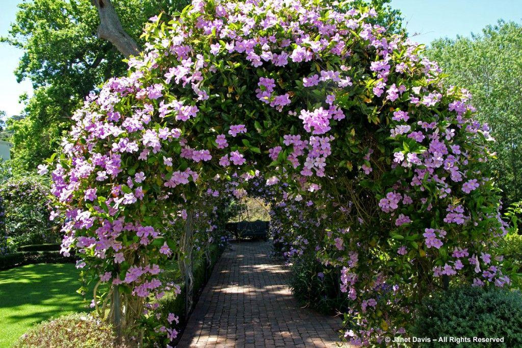 Podranea ricasoliana pink trumpet vine cellars hohenort vines podranea ricasoliana pink trumpet vine cellars hohenort mightylinksfo