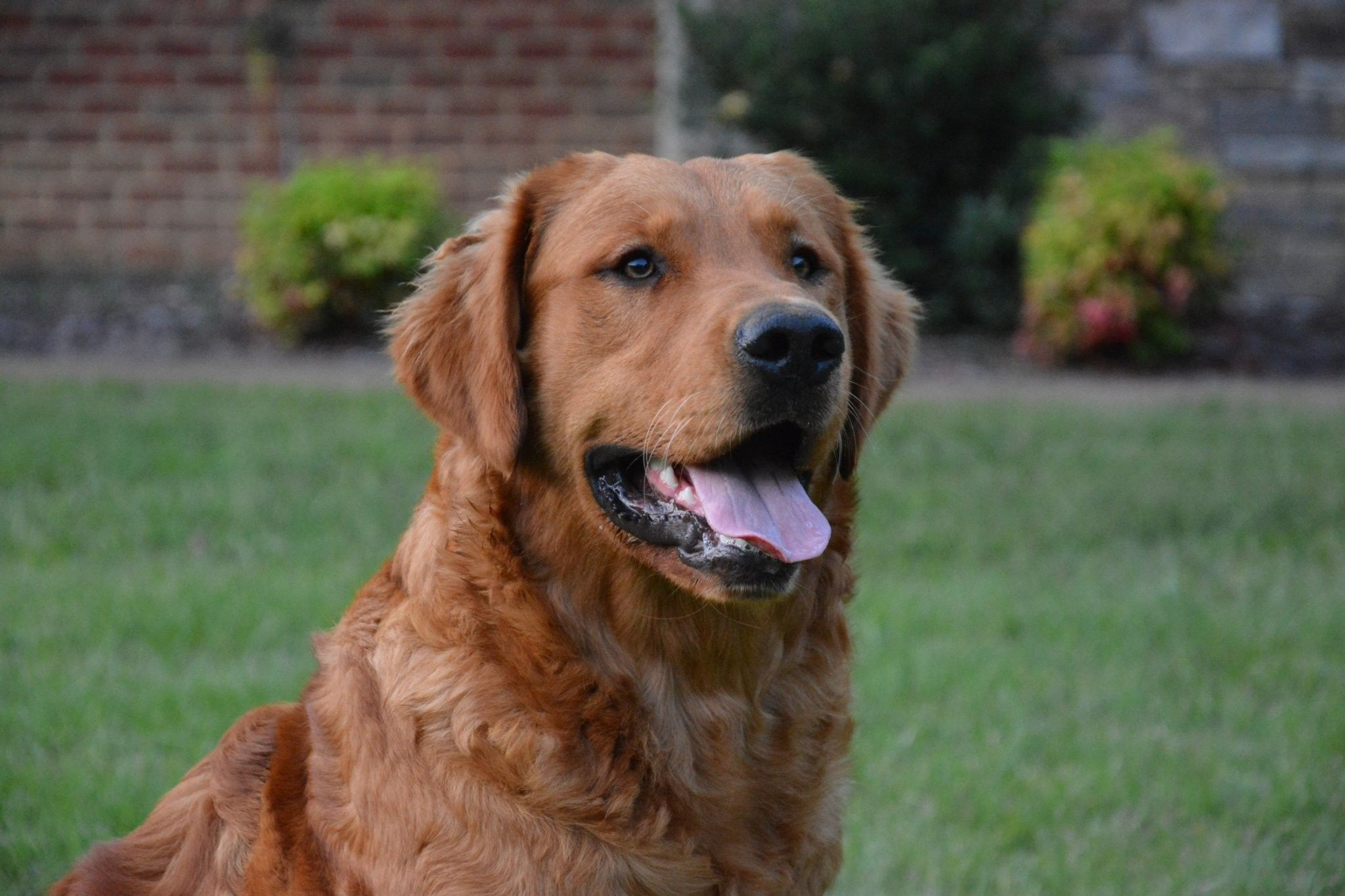 Mcgruff, our sire Golden retriever, Goldendoodle, Akc