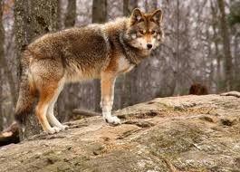 coyote - Google Search