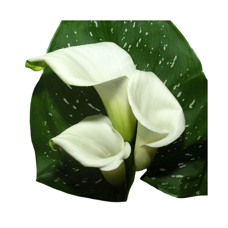 Mini Calla White 60 Stems Sam's Club 99.98 Flower