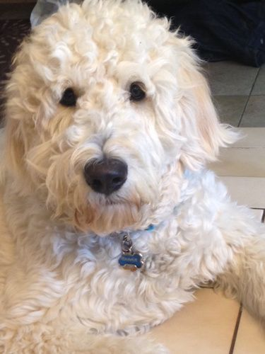 Standard English Goldendoodles - The Paw Pad Goldendoodles ...