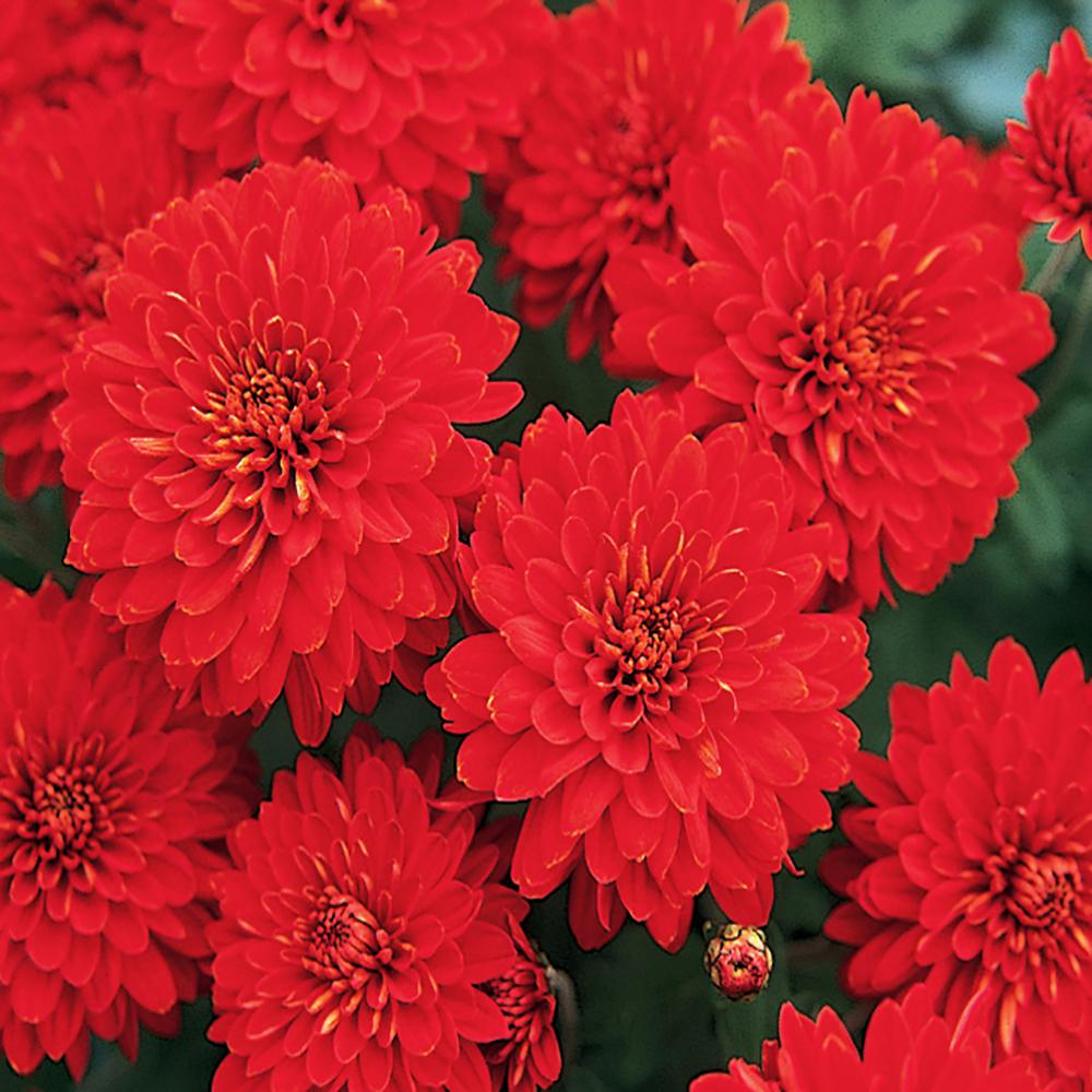 8 In Red Chrysanthemum Plant 17102 The Home Depot In 2020 Chrysanthemum Plant Red Chrysanthemums Plants