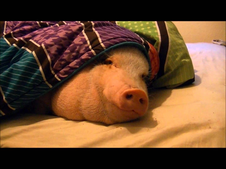 Mini-Schweinchen durch Duft eines wohlriechenden Kekses geweckt - http://www.dravenstales.ch/mini-schweinchen-durch-duft-eines-wohlriechenden-kekses-geweckt/