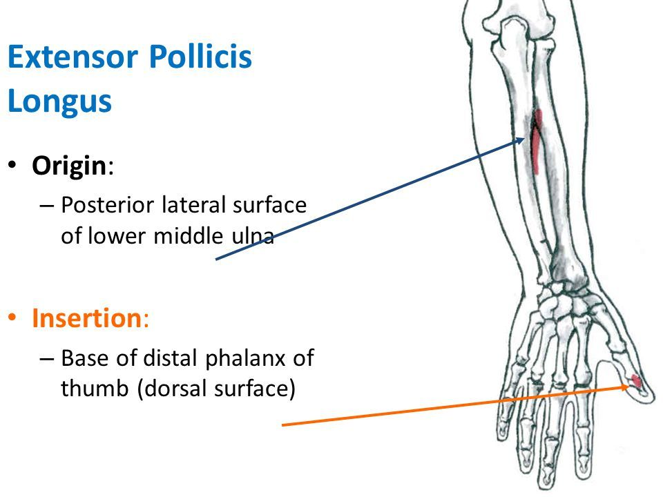 extensor pollicis longus origin and insertion - Google ...