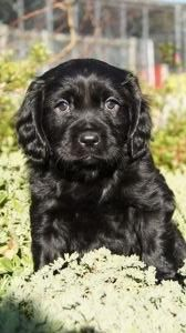 Cavador Puppies For Sale Pines Pets Puppies Puppy Breeds