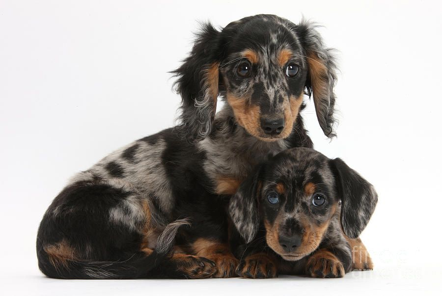 Tricolor Dachshund Puppies Dachshund Puppies Dachshund Puppies
