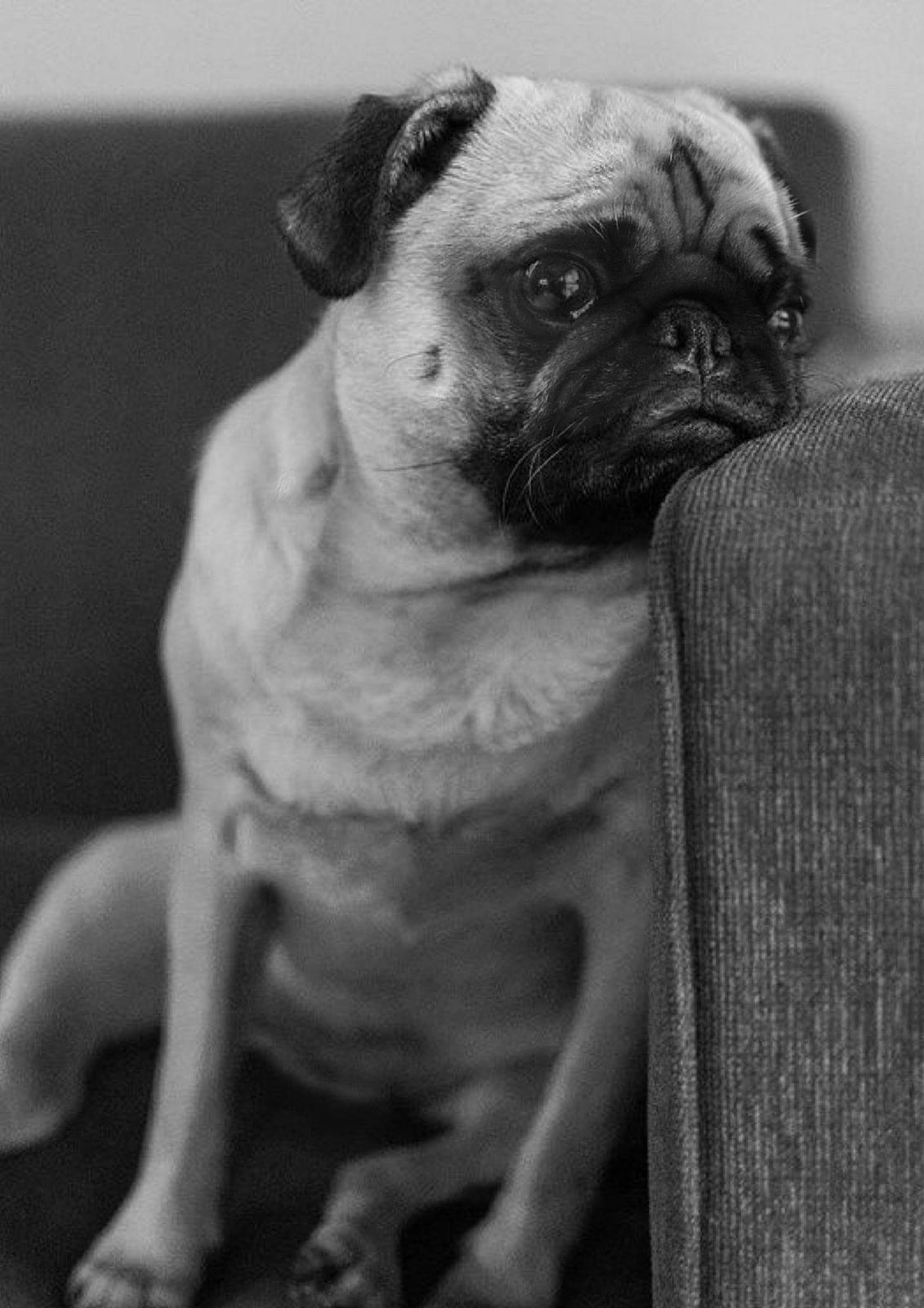 Pin By Janelle Macintosh On Pug Galore Pug Memes Cute Baby