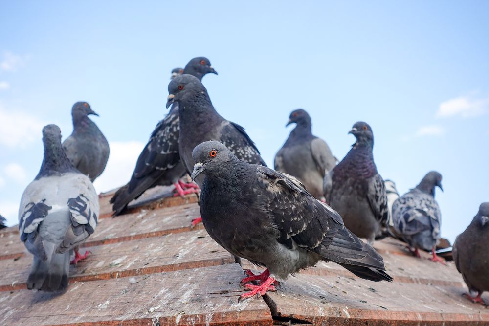 Get Rid Of Pigeons On Roof In 2020 Get Rid Of Pigeons Pigeon Animals