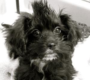 Is A Maltese Yorkie Mix The Right Dog For You Morkie Puppies Morkie Maltese Yorkie Mix