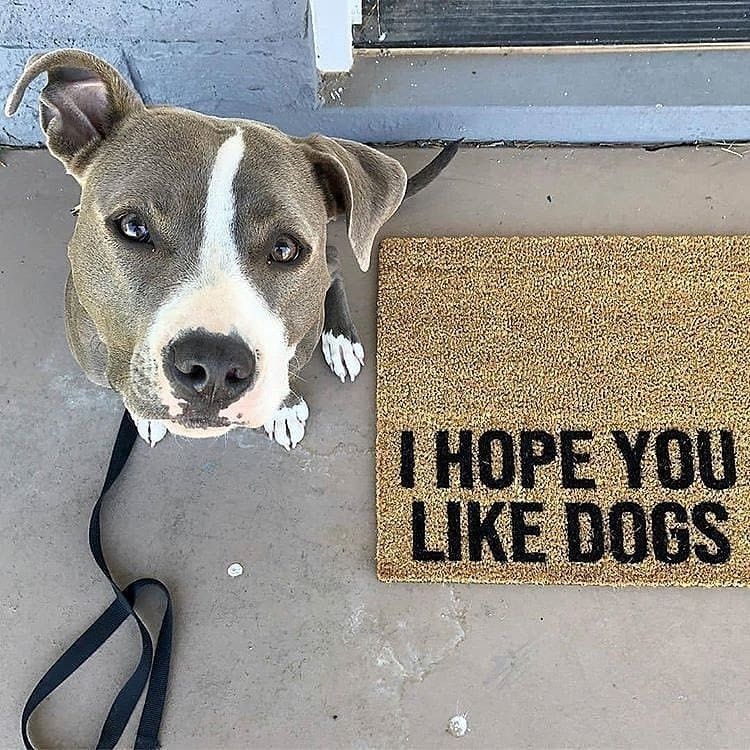 I Hope You Like Dogs Via Reythepitbull Pitbull Pitbullsofinstagram Pitbulls Pitbullpuppies Pitbullp Sick Pets I Love Dogs Pitbull Mom