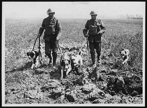 WWI, 28 Aug 1918; A messenger dog showing the tin cylinder ... |Wwi Messenger