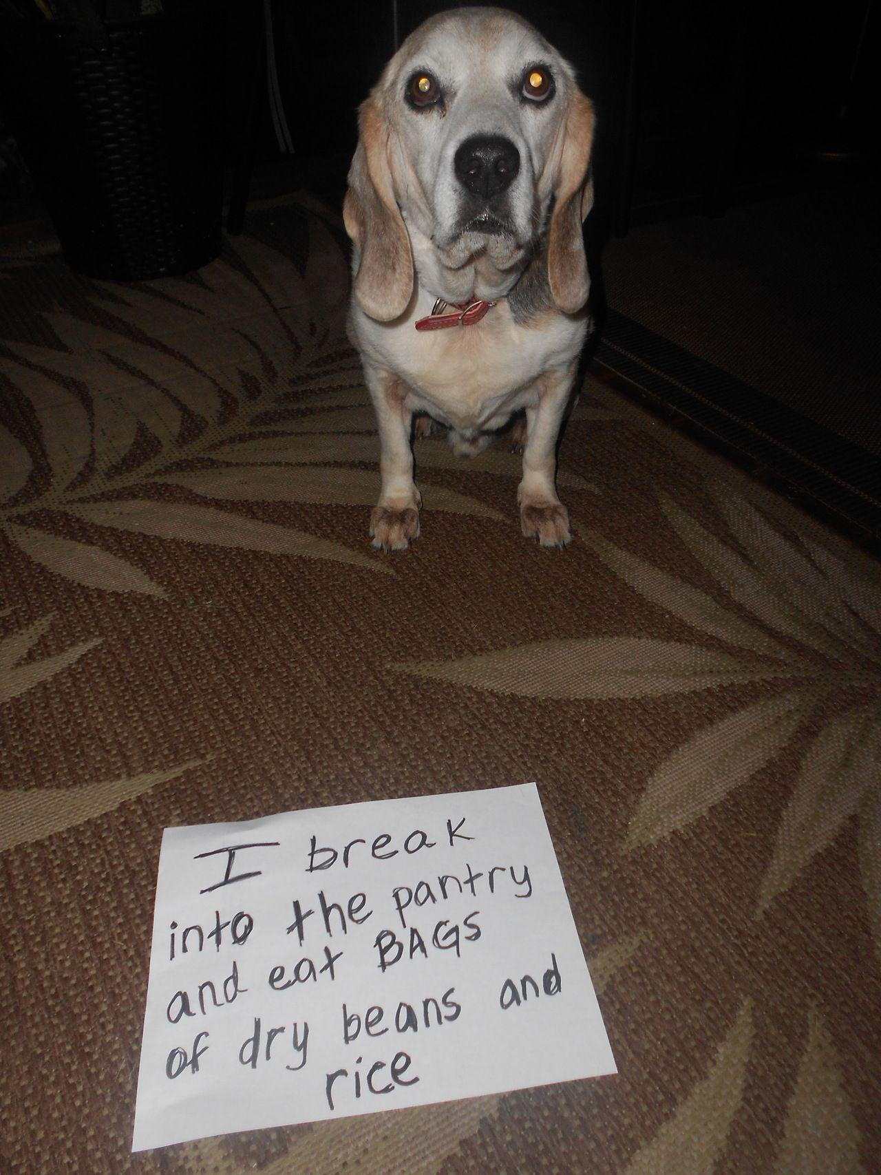 Food Obsessed Beagle Eats Anything Dog Shaming Animal Shaming