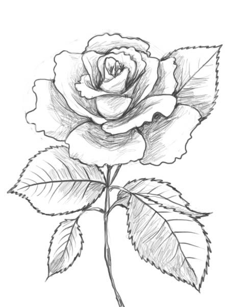 Rose Drawing Images : drawing, images, Drawing, Beautiful, Flower, Drawings,, Drawing,, Nature