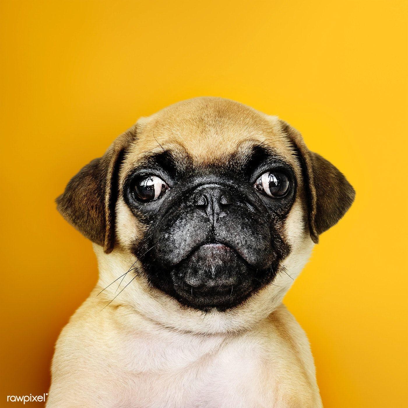 Download Premium Photo Of Adorable Pug Puppy Solo Portrait 542341