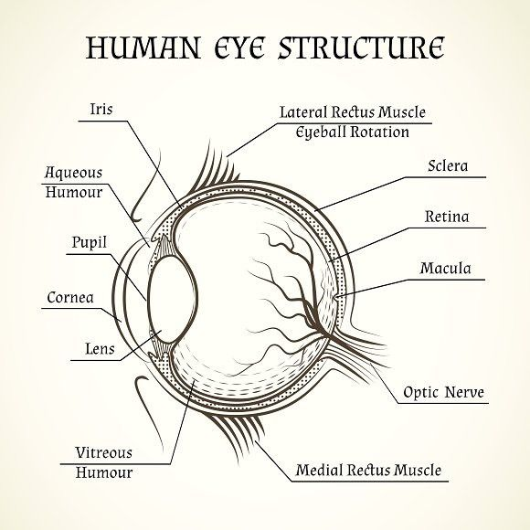 Vector Structure Of The Human Eye Human Eye Diagram Biology Diagrams Medical School Studying