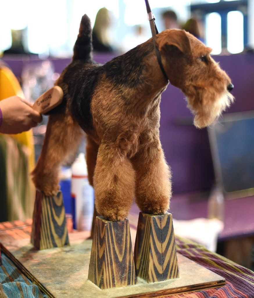 Pin by D W on Welshies Dog show, Westminster dog show