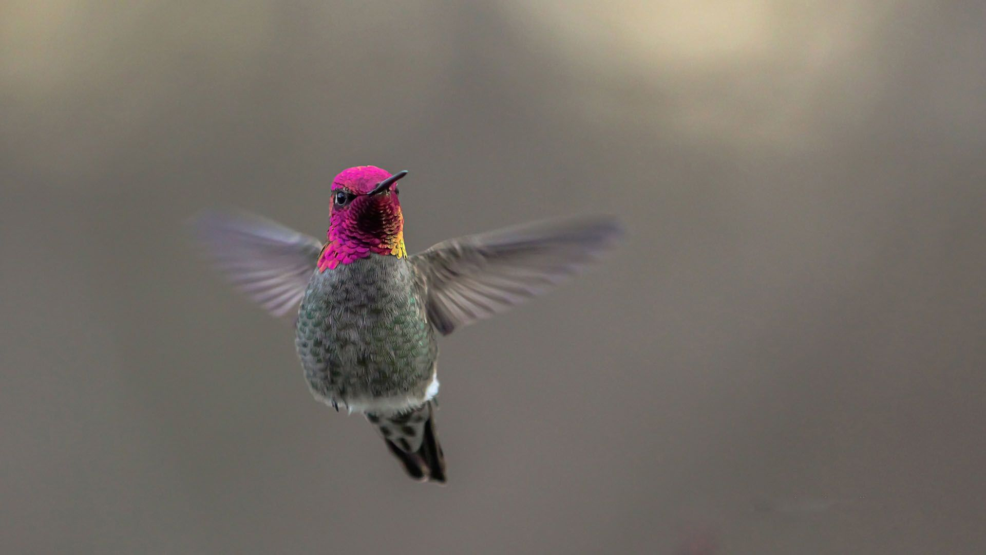 flying hummingbird free download computer wallpapers