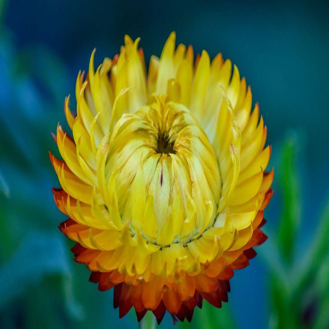 Xerochrysum was originally in the genus 'Helichrysum